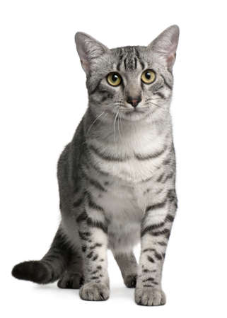 Egyptian Mau Cat, 7 months old, sitting in front of white background photo