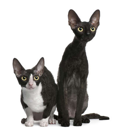 Two Cornish Rex cats, 7 months old, sitting in front of white background photo
