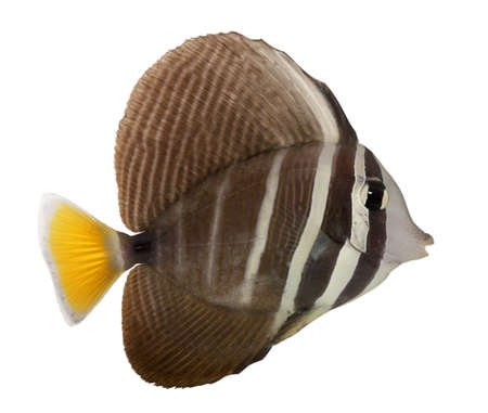 sailfin: Sailfin Tang, Zebrasoma veliferum, in front of white background Stock Photo