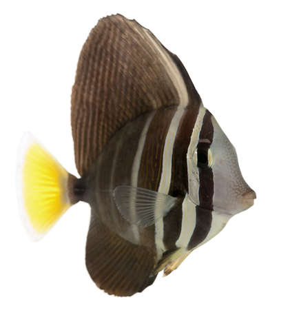 Sailfin Tang, Zebrasoma veliferum, in front of white background photo