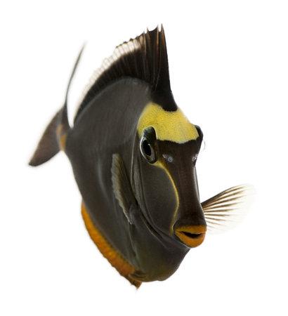 naso: Orangespine unicornfish, Naso lituratus, in front of white background