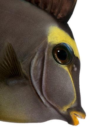 naso: Close-up of Orangespine unicornfish, Naso lituratus, in front of white background