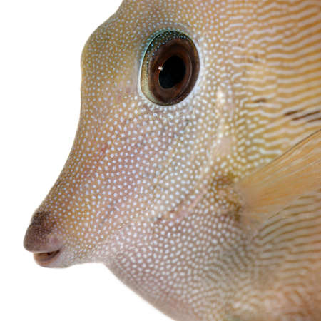 Close-up of Scopas Tang or Twotone Tang, Zebrasoma scopas, in front of white background photo