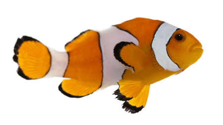 Clownfish, Amphiprion ocellaris, in front of white background Stock Photo - 8021080