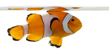 clown fish amphiprion: Clownfish, Amphiprion ocellaris, in front of white background