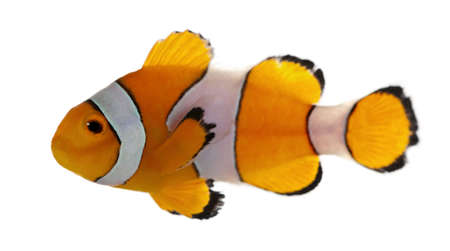 freshwater clown fish: Clownfish, Amphiprion ocellaris, in front of white background