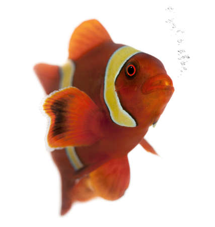 submersion: Maroon clownfish, Premnas biaculeatus, in front of white background