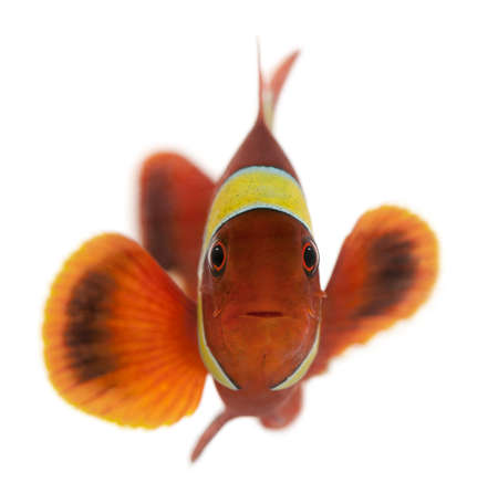 white  fish: Maroon clownfish, Premnas biaculeatus, in front of white background