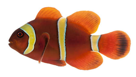 Maroon clownfish, Premnas biaculeatus, in front of white background photo