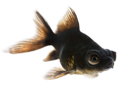 freshwater fish: Black moor, Carassius auratus, in front of white background Stock Photo