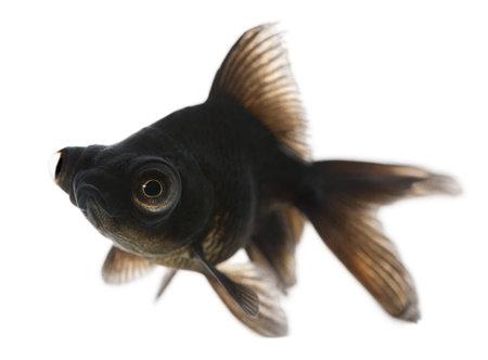 Black moor, Carassius auratus, in front of white background photo