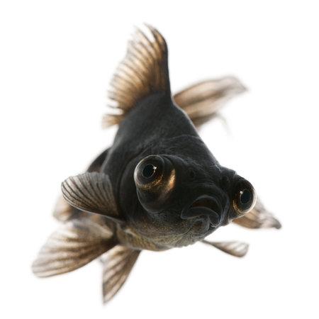 peces de colores: Black fondear, Carassius auratus, delante de fondo blanco  Foto de archivo