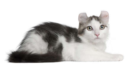 American Curl Kitten, 13 weeks old, lying in front of white background photo