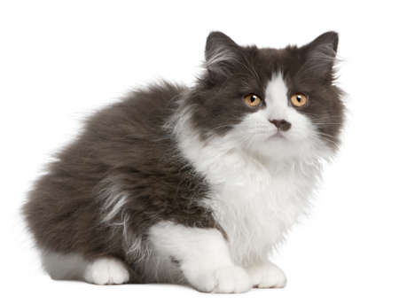British Longhair kitten, 3 months old, sitting in front of white background photo