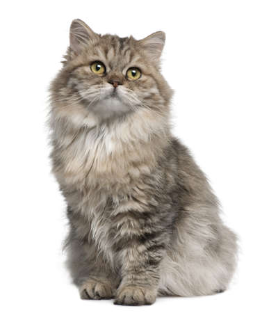 longhair: British Longhair kitten, 3 months old, sitting in front of white background