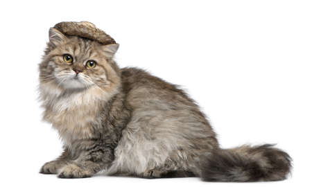 longhair: British Longhair kitten wearing straw hat, 3 months old, sitting in front of white background