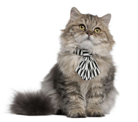 longhair: British Longhair kitten wearing a tie, 3 months old, sitting in front of white background Stock Photo
