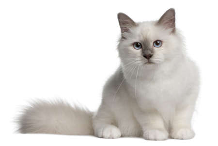 birman kitten: Birman Kitten, 4 months old, sitting in front of white background Stock Photo