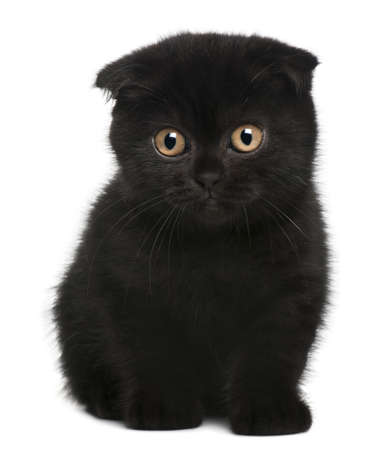 weeks: Scottish Fold Kitten, 11 weeks old, sitting in front of white background Stock Photo