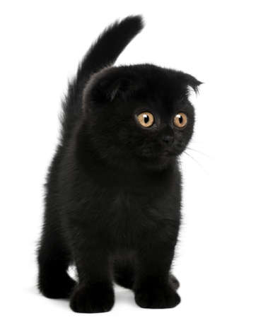 black out: Scottish Fold Kitten, 11 weeks old, standing in front of white background Stock Photo