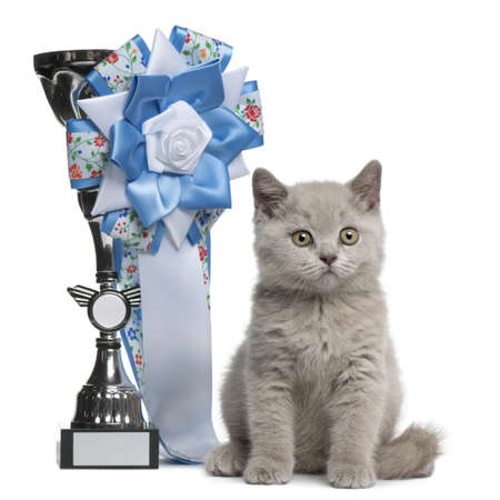 british short hair: British Shorthair Kitten, 10 weeks old, sitting next to a winning prize in front of white background