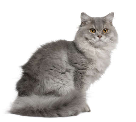longhair: British Longhair Cat, 1 year old, sitting in front of white background Stock Photo