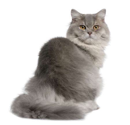 1 year old: British Longhair Cat, 1 year old, sitting in front of white background Stock Photo