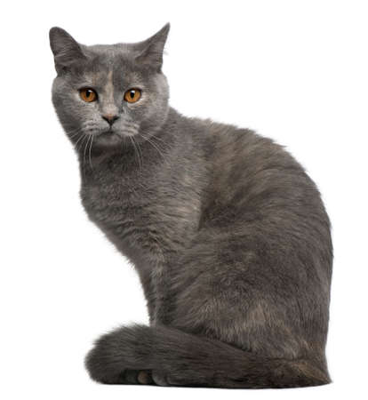 gray cat: British Shorthair cat, 1 year old, sitting in front of white background