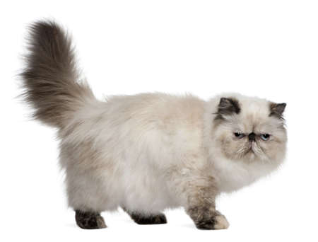 gray cat: Persian Cat, 2 years old, standing in front of white background