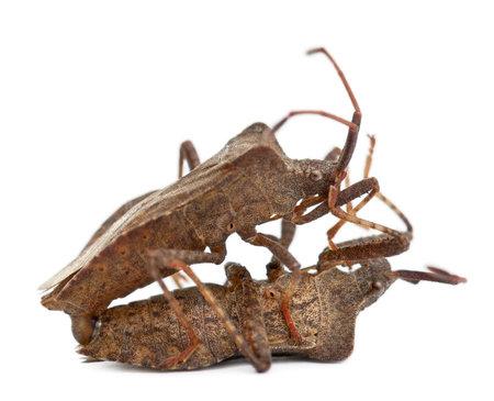 Dock bugs mating, Coreus marginatus, in front of white background Stock Photo - 8021158