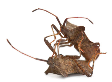 squash bug: Dock bugs mating, Coreus marginatus, in front of white background