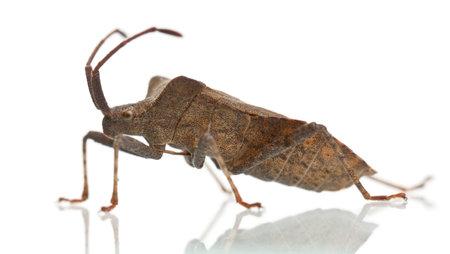 Dock bug, Coreus marginatus, in front of white background photo