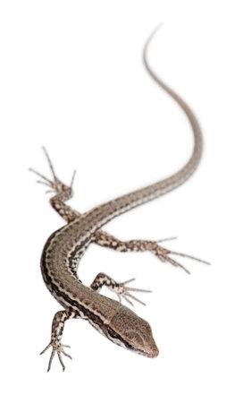 lizard: Pared lagarto, Podarcis muralis, delante de fondo blanco