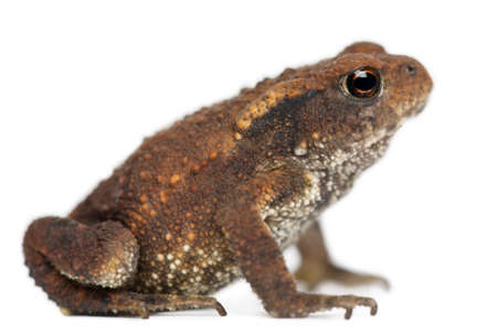 Young Common toad, bufo bufo, in front of white background Stock Photo - 8021342