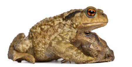 Mother Common toad and her baby, bufo bufo, in front of white background photo