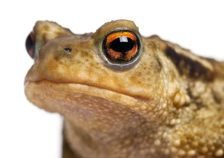 bufo toad: Common toad, bufo bufo, in front of white background