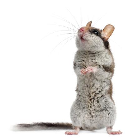 myszy: Ogród popielicowatych, Eliomys Quercinus, z przodu biaÅ'e tÅ'o Zdjęcie Seryjne