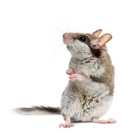 myszy: Popielicowate Garden, Eliomys Quercinus, z przodu białe tło