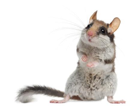 mouse animal: Garden Dormouse, Eliomys Quercinus, in front of white background