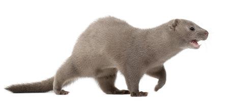 mink: American Mink, Neovison Vison, 3 months old, in front of white background