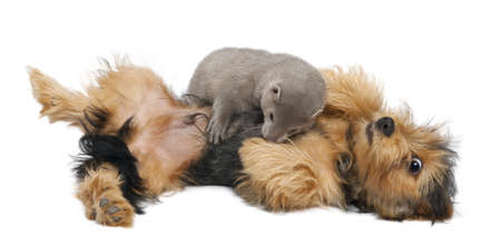 American Mink, Neovison Vison, 3 months old, and a Yorkshire dog in front of white background photo