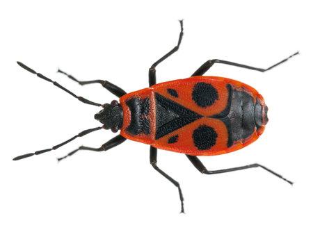 Firebug, Pyrrhocoris apterus, in front of white background photo
