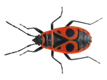 insects: Firebug, Pyrrhocoris apterus, in front of white background Stock Photo
