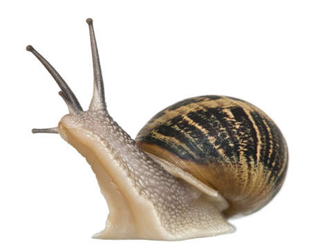 no movement: Garden Snail in front of white background