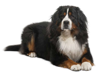 Bernese Mountain Dog, 3 years old, lying in front of white background photo