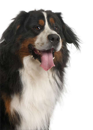 Bernese Mountain Dog, 3 years old, in front of white background photo