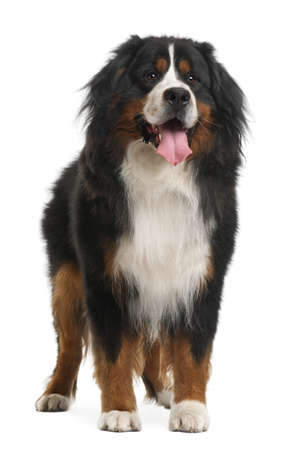 Bernese Mountain Dog, 3 years old, standing in front of white background photo