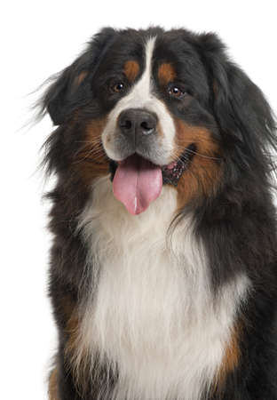 bernese mountain dog: Bernese Mountain Dog, 3 years old, sitting in front of white background