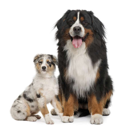 Bernese mountain dog, 3 years old, sitting in front of white background photo