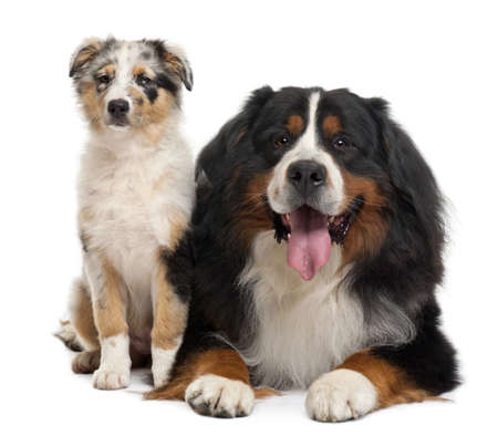 Bernese mountain dog, 3 years old, sitting in front of white background Stock Photo - 8022336